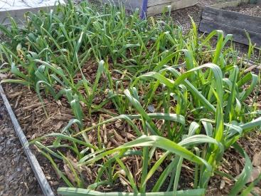 garlic, march 2018