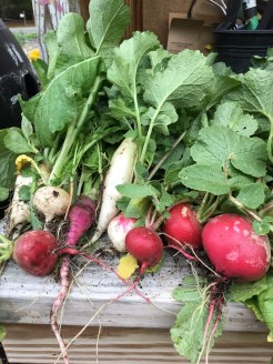 fresh radishes, april 2018