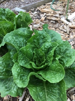 lettuce, april 2018