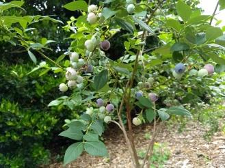 blueberries soon!