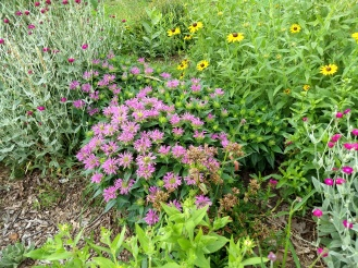 rose campion, 'grand parade' monarda, and black eyed susans blooming merrily