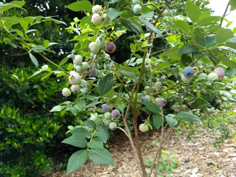 Garner Grows 2 blueberries.jpg